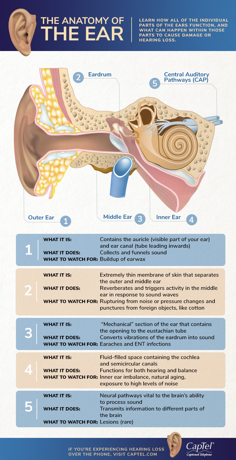 The Anatomy Of The Ear Infographic