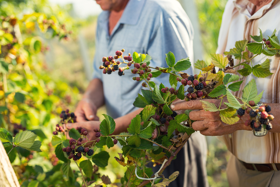 One of the summer senior activities on our list is to go berry-picking.